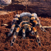 Mexican red knee tarantula Brachypelma smithi. close-up on a background of brown soil